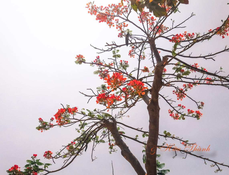 Cây hoa phượng cực đẹp