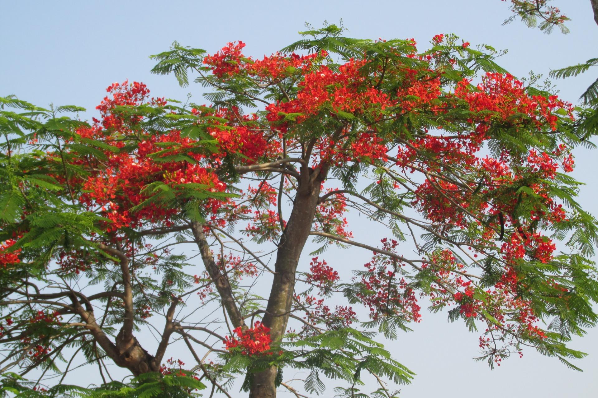 Cây hoa phượng đỏ nở rộ rất đẹp