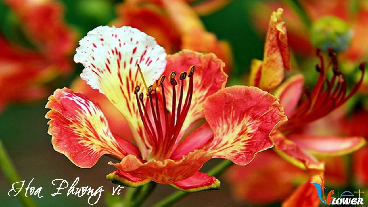 Hình ảnh bông hoa phượng đỏ cực đẹp
