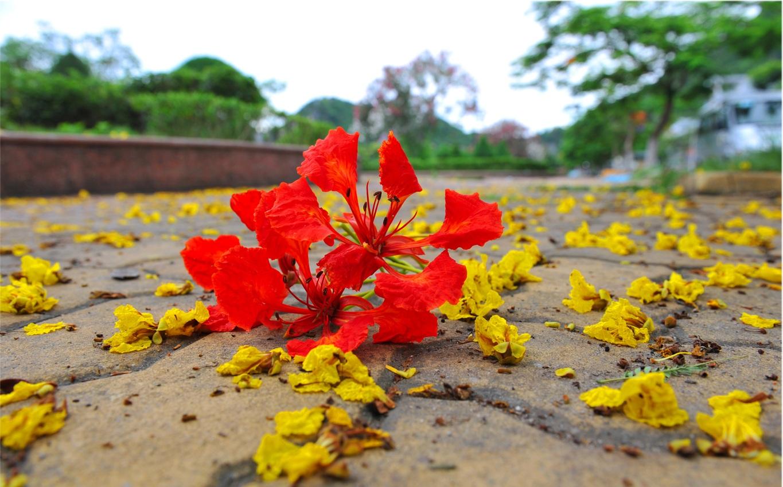 Hình ảnh bông hoa phượng đỏ trên mặt đất