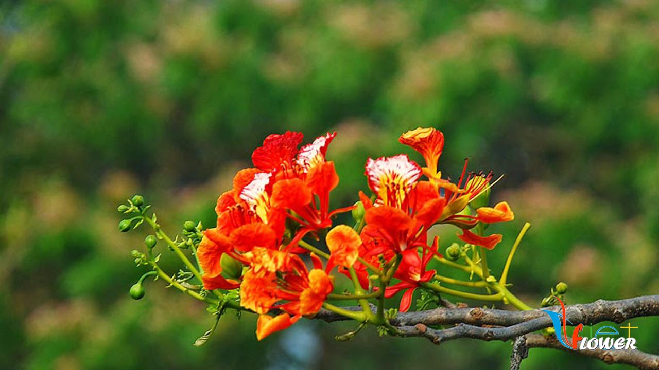 Hình ảnh bông hoa phượng thắm cực đẹp