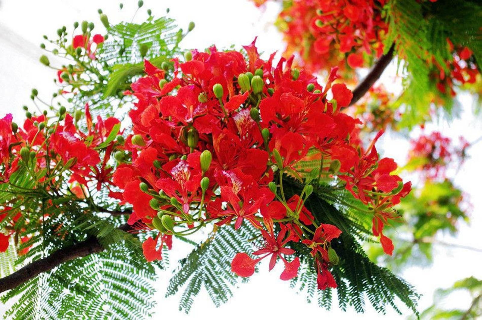 Hình ảnh cành hoa phượng cực đẹp