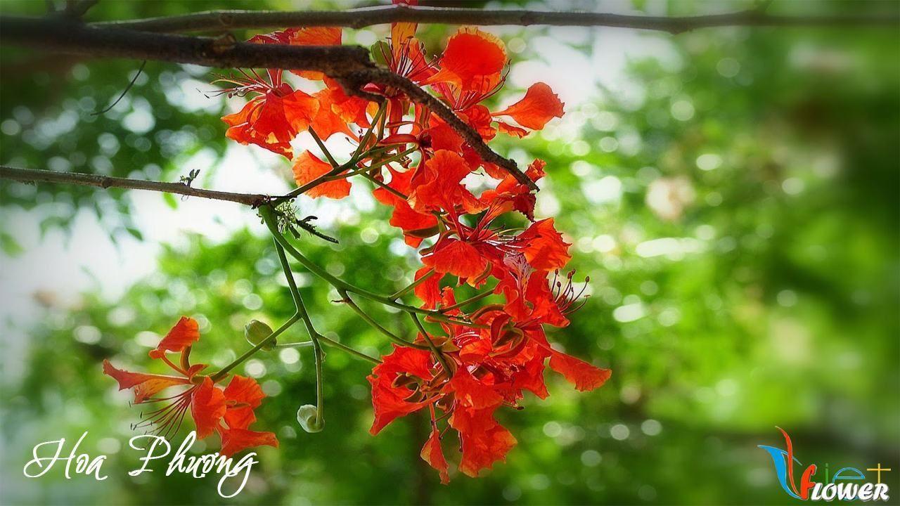 Hình ảnh cành hoa phượng đỏ cực đẹp