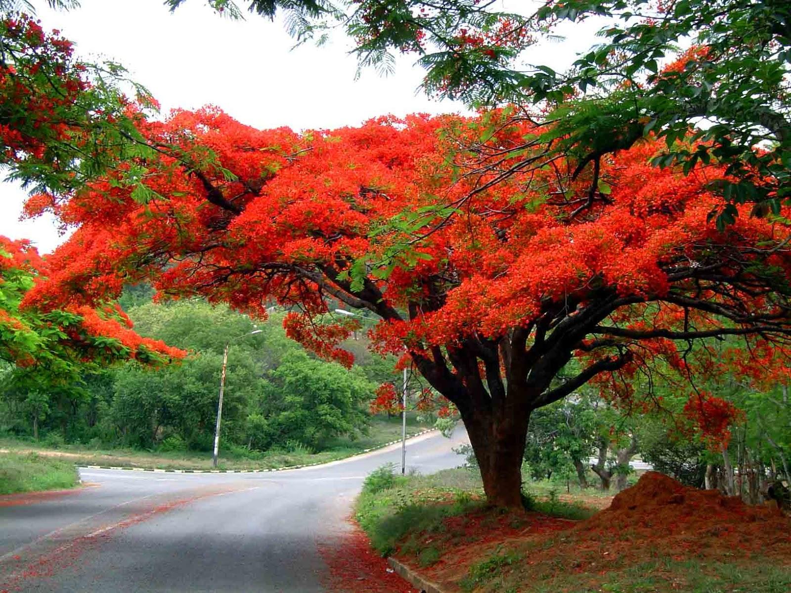 Hình ảnh cây hoa phượng đỏ nở rộ như cây nấm linh chi