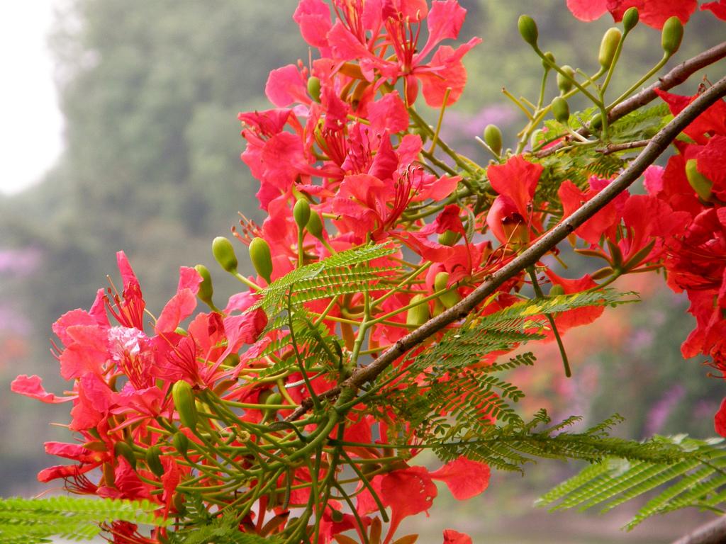 HÌnh ảnh chùm hoa phượng đỏ rất đẹp