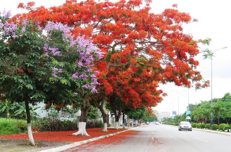 Hình ảnh con phố hoa phượng đỏ