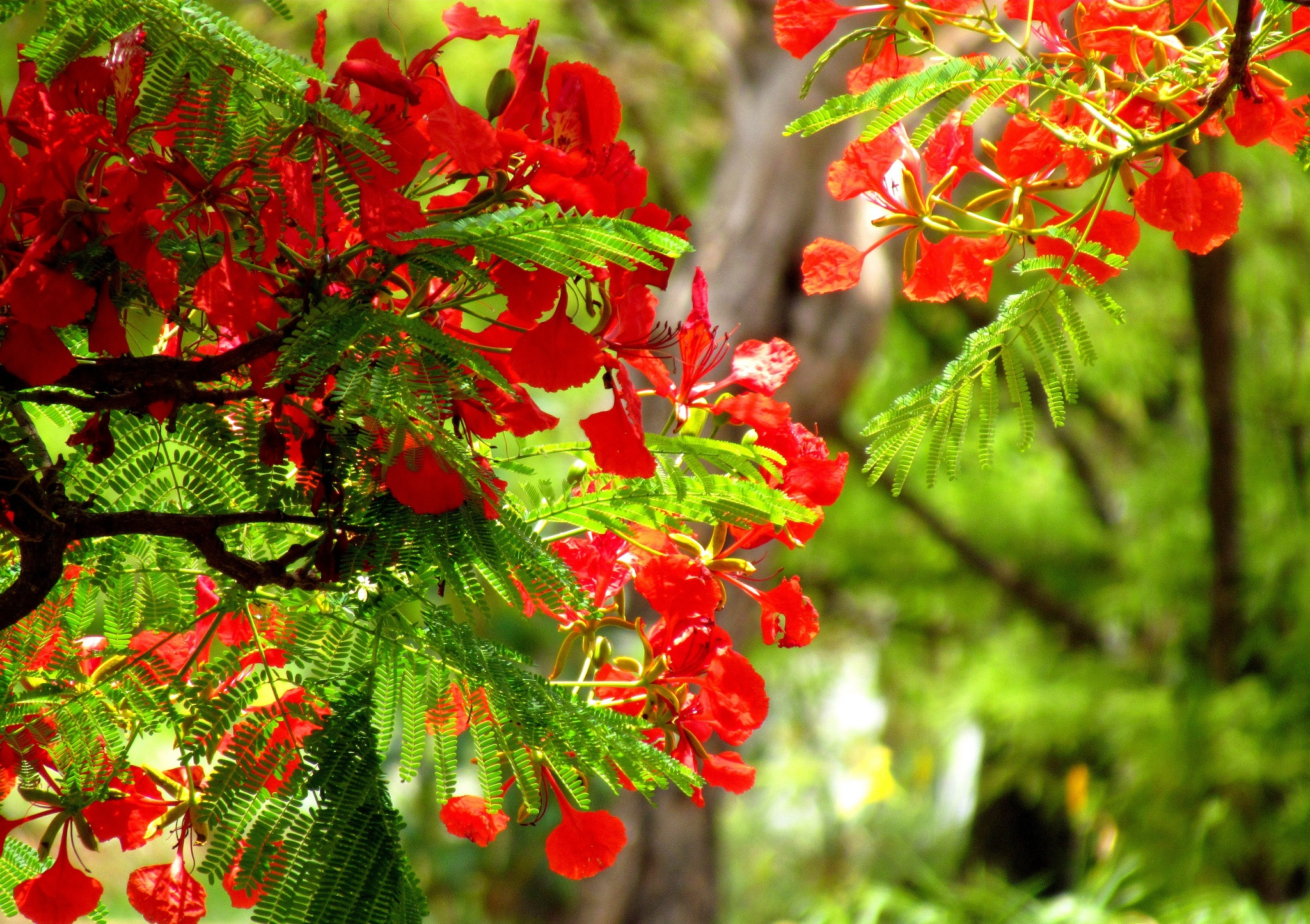 HÌnh ảnh hoa phượng cực đẹp