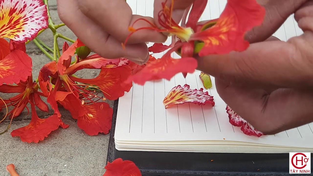 Hình ảnh hoa phượng rất đẹp