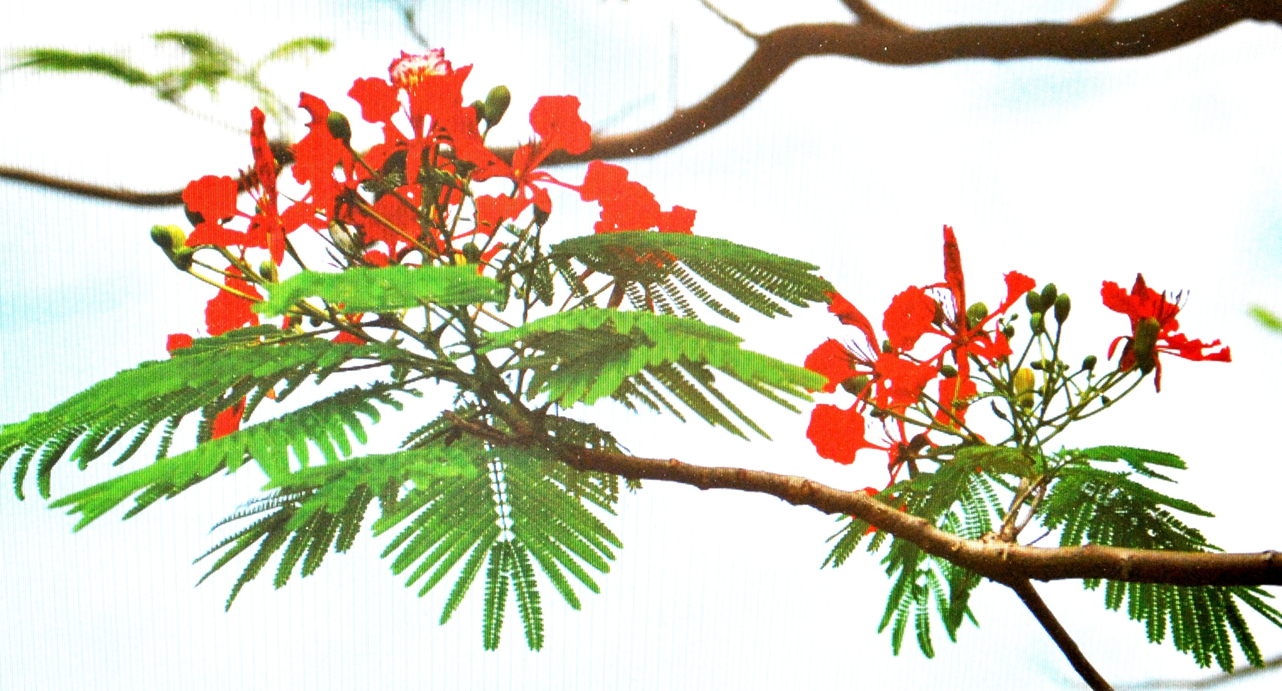 Hình ảnh hoa phượng thắm cực đẹp