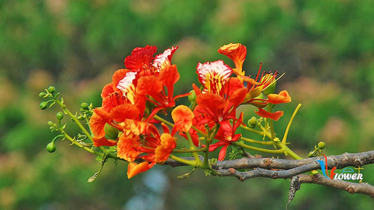 Hình ảnh hoa phượng thắm rất đẹp