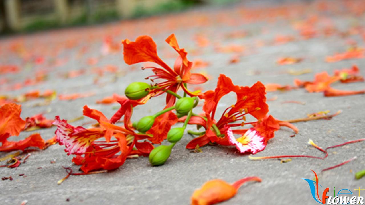 Hình ảnh hoa phượng thắm rơi trên đất cực đẹp