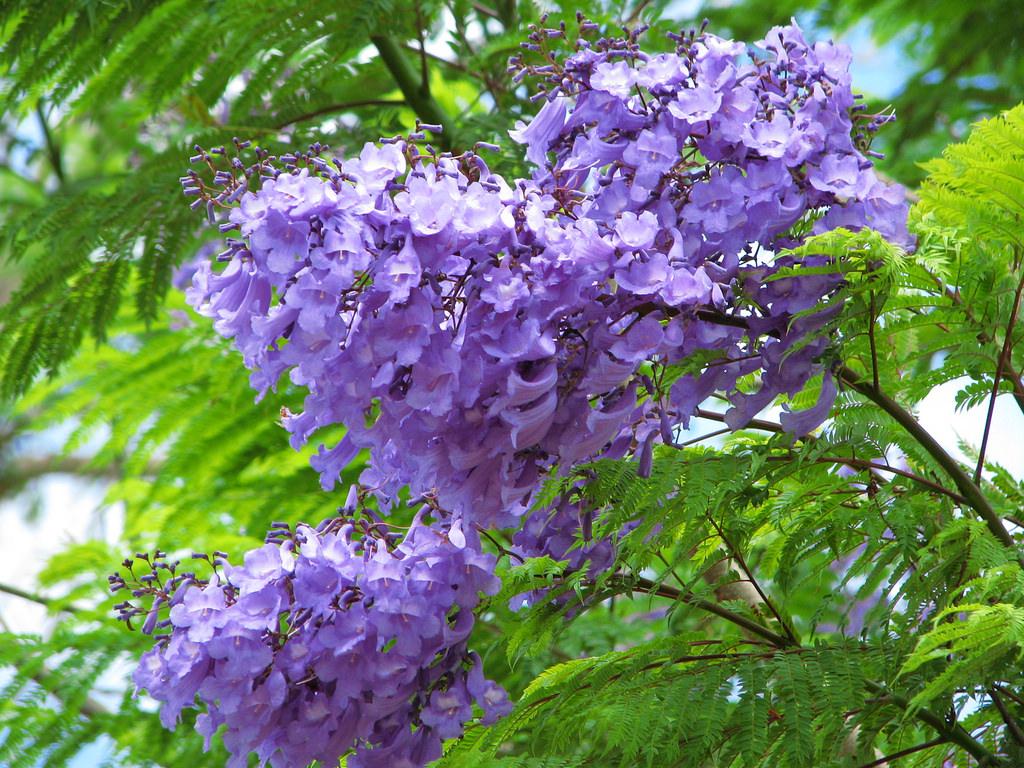 HÌnh ảnh hoa phượng tím cực đẹp