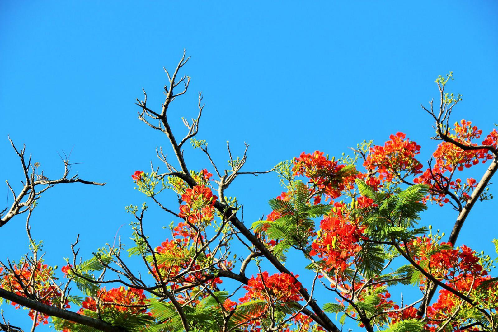 Hình ảnh những bông hoa phượng cực đẹp
