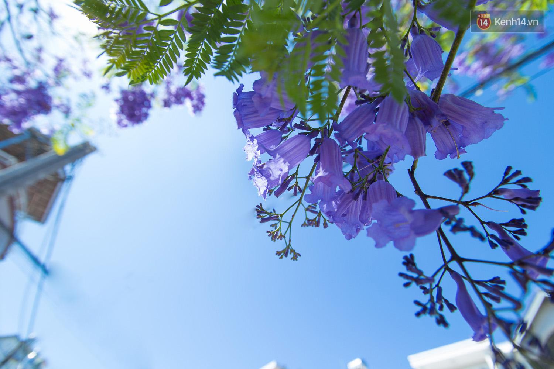 Hình ảnh những bông hoa phượng tím rất đẹp