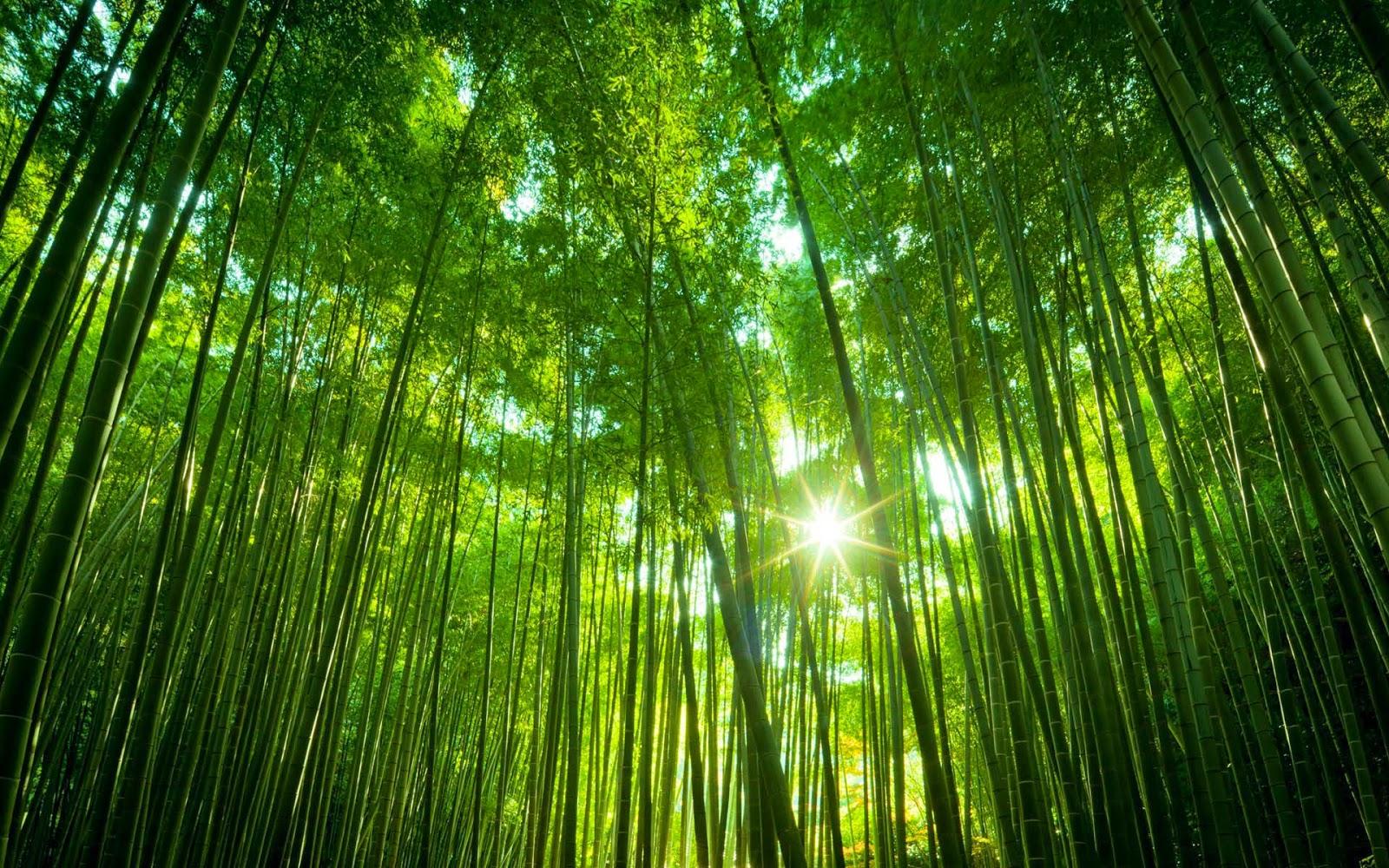 Hình ảnh rừng tre xanh và nắng vàng