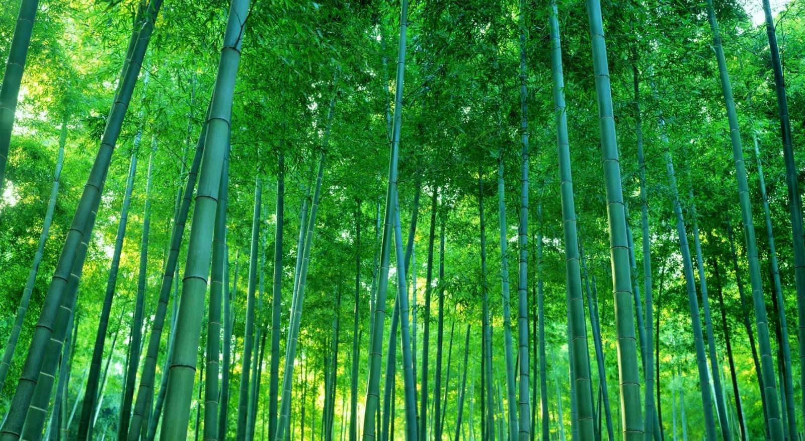 Hình ảnh rừng tre xanh