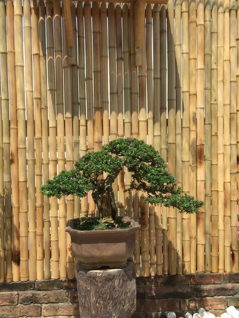 Hình ảnh tre và bonsai