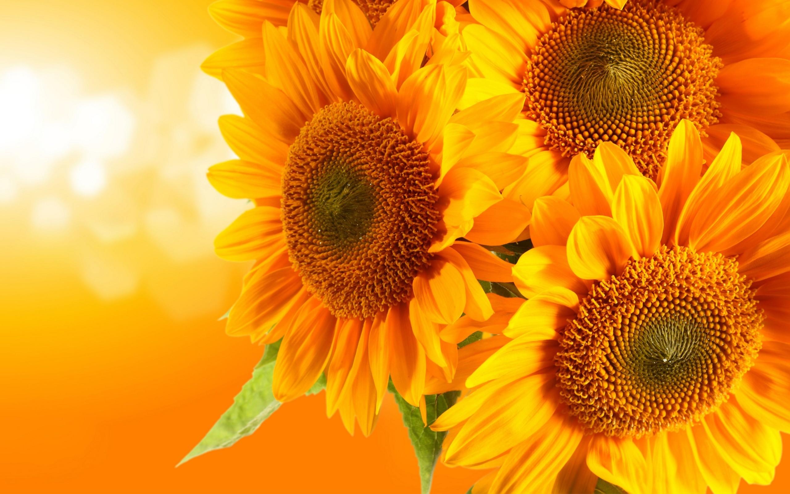 Hình nền màu vàng ba đóa hoa hướng dương cực đẹp