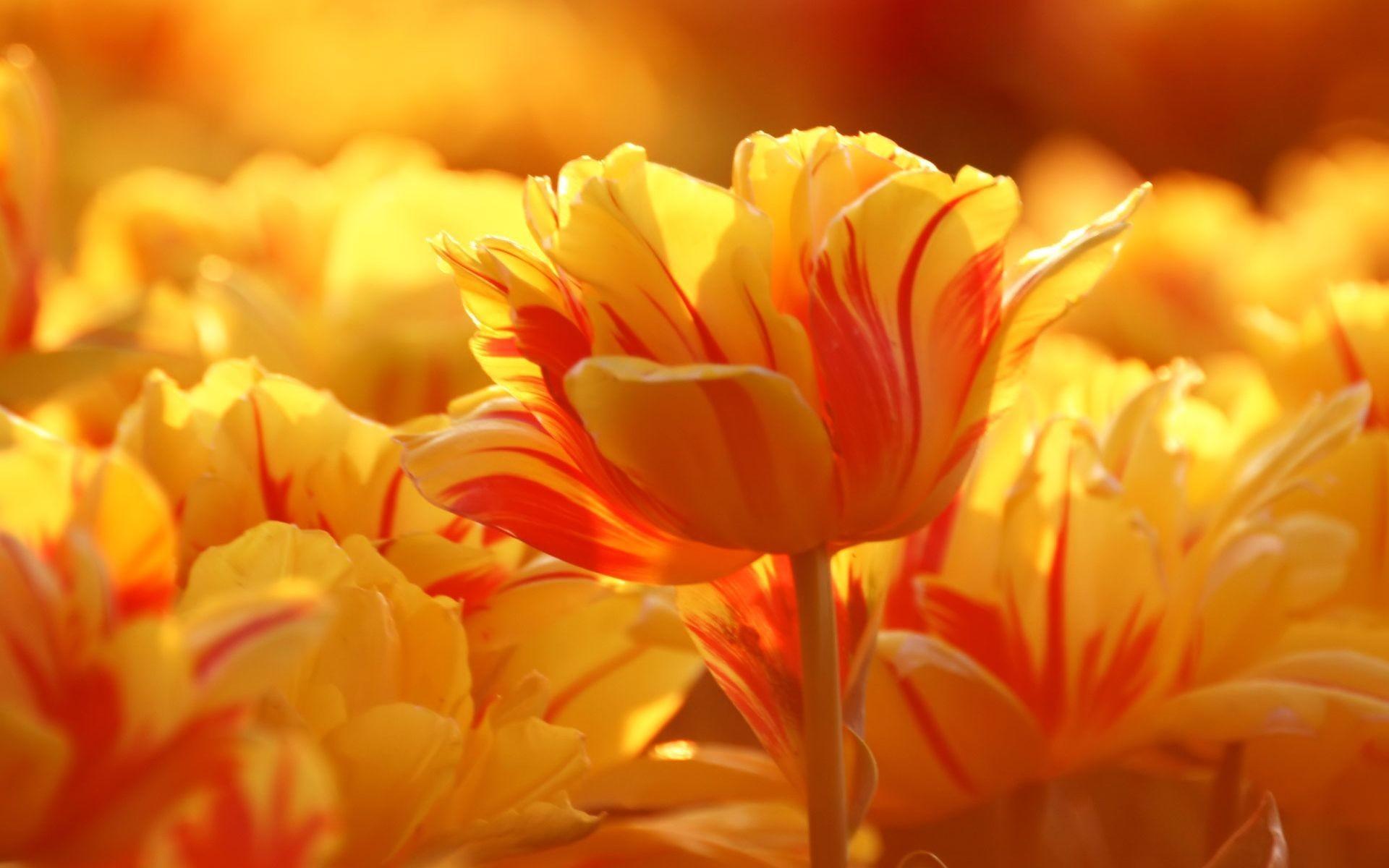 Hình nền màu vàng, đóa hoa rực rỡ