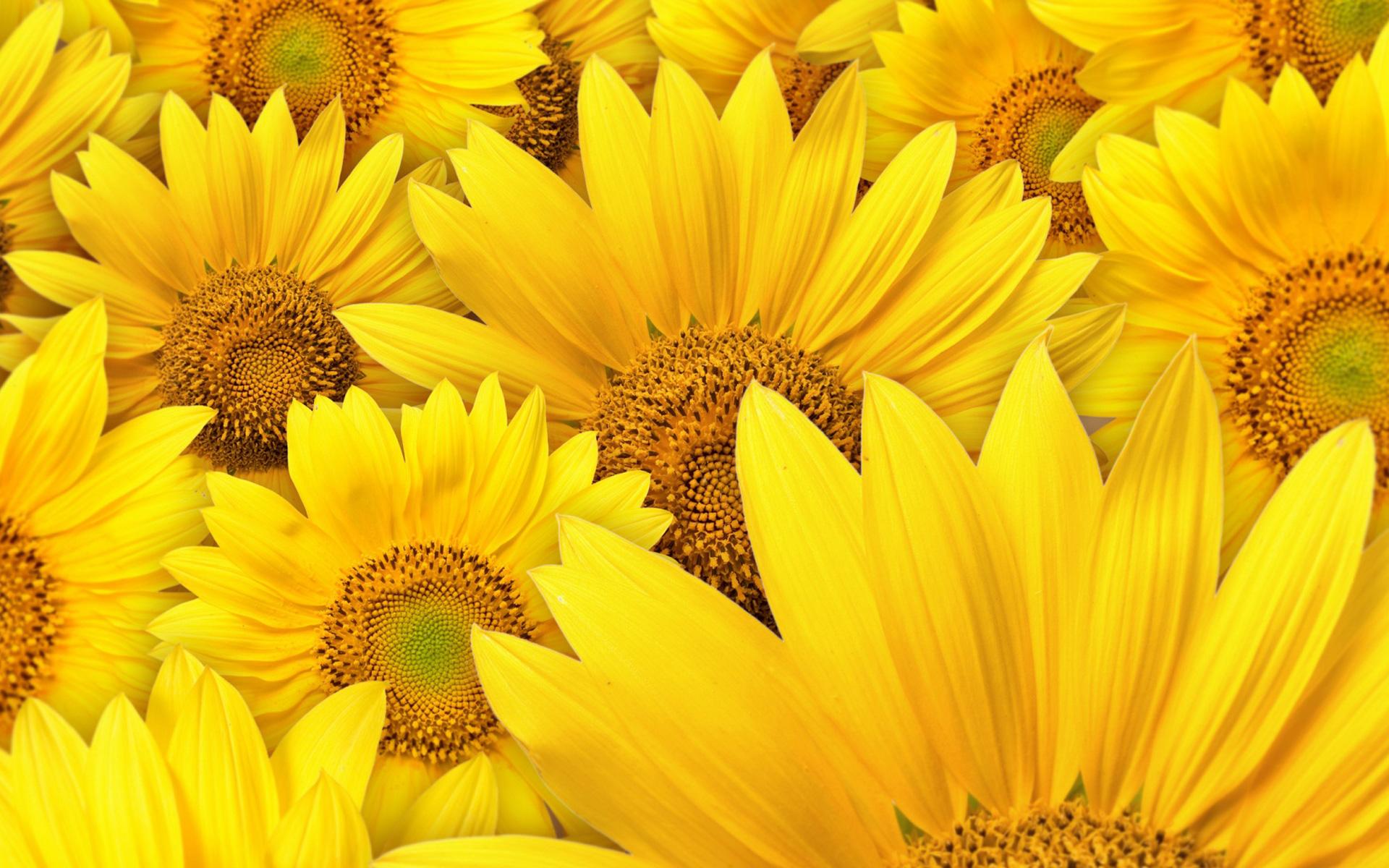 Hình nền màu vàng hoa nở rộ