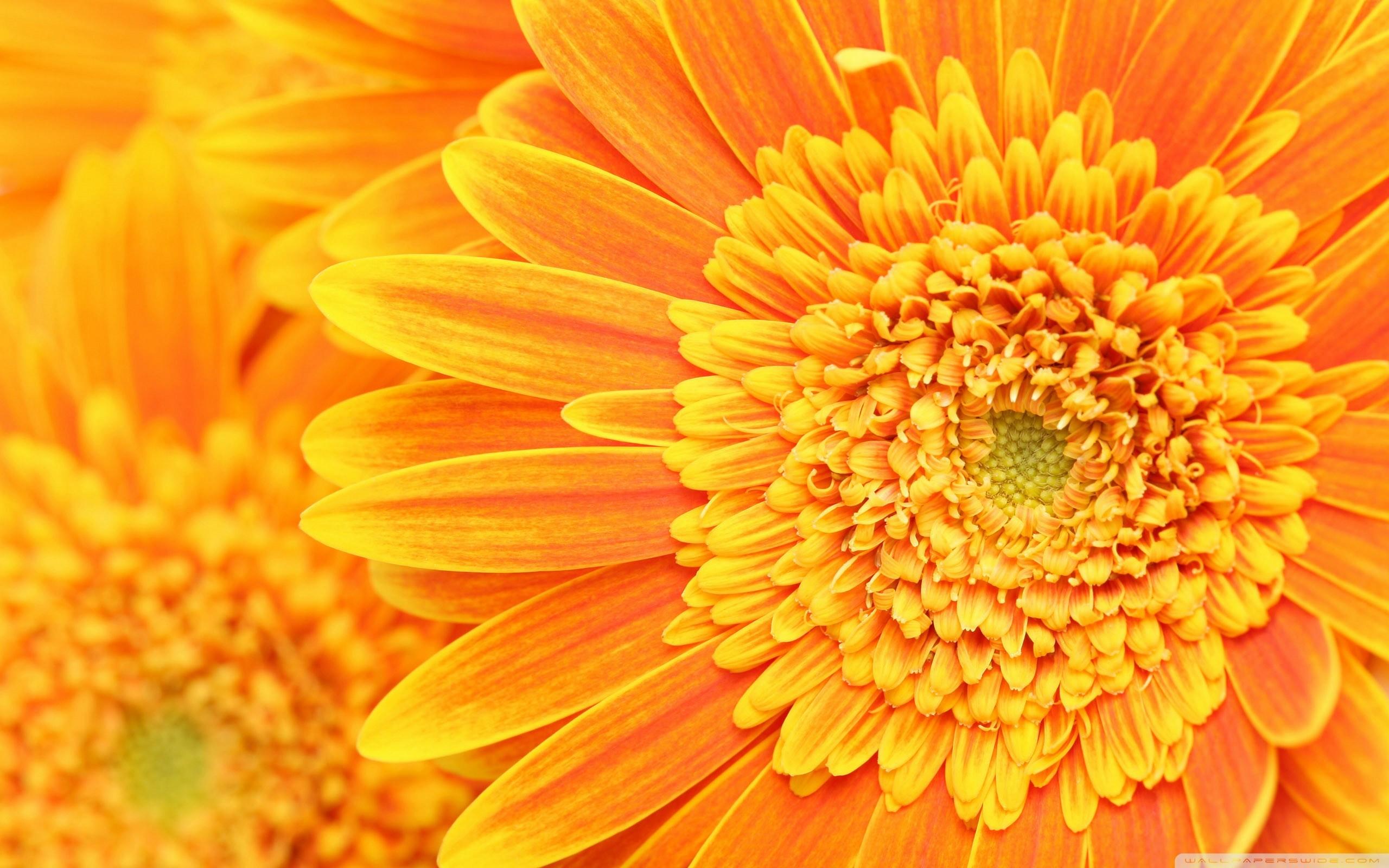 Hình nền vàng hoa vàng cực đẹp