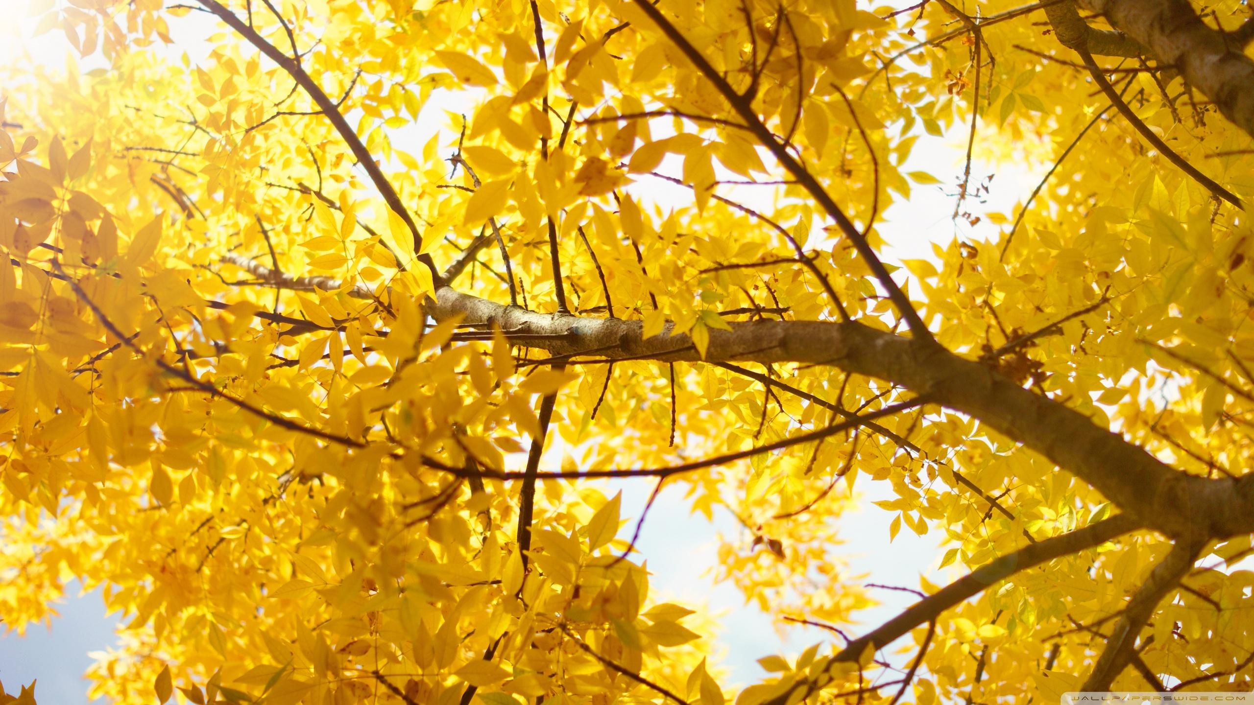 Hình nền vàng lá cây mùa thu vàng rực rỡ