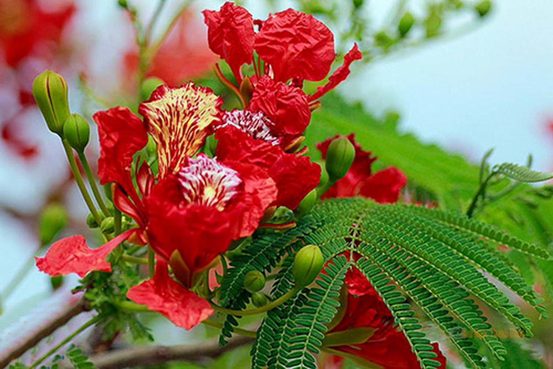 Hoa phượng đỏ bông nở bông không