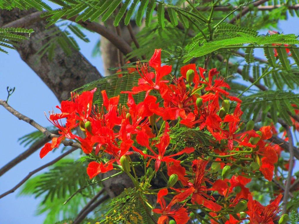 Những bó hoa phượng đỏ cực đẹp