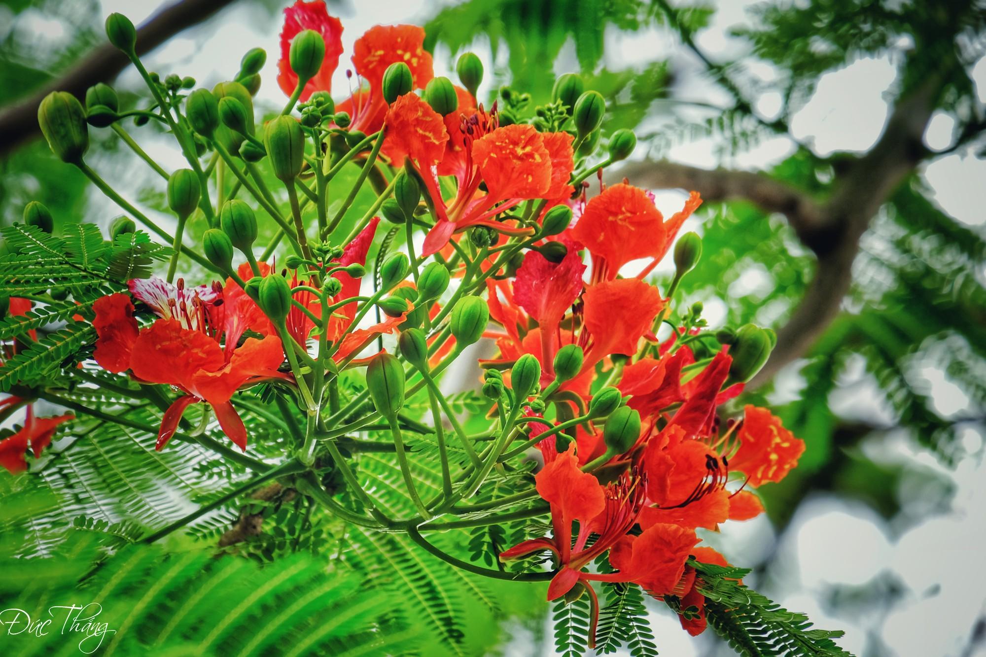 Những bông hoa phượng đỏ rất đẹp mắt