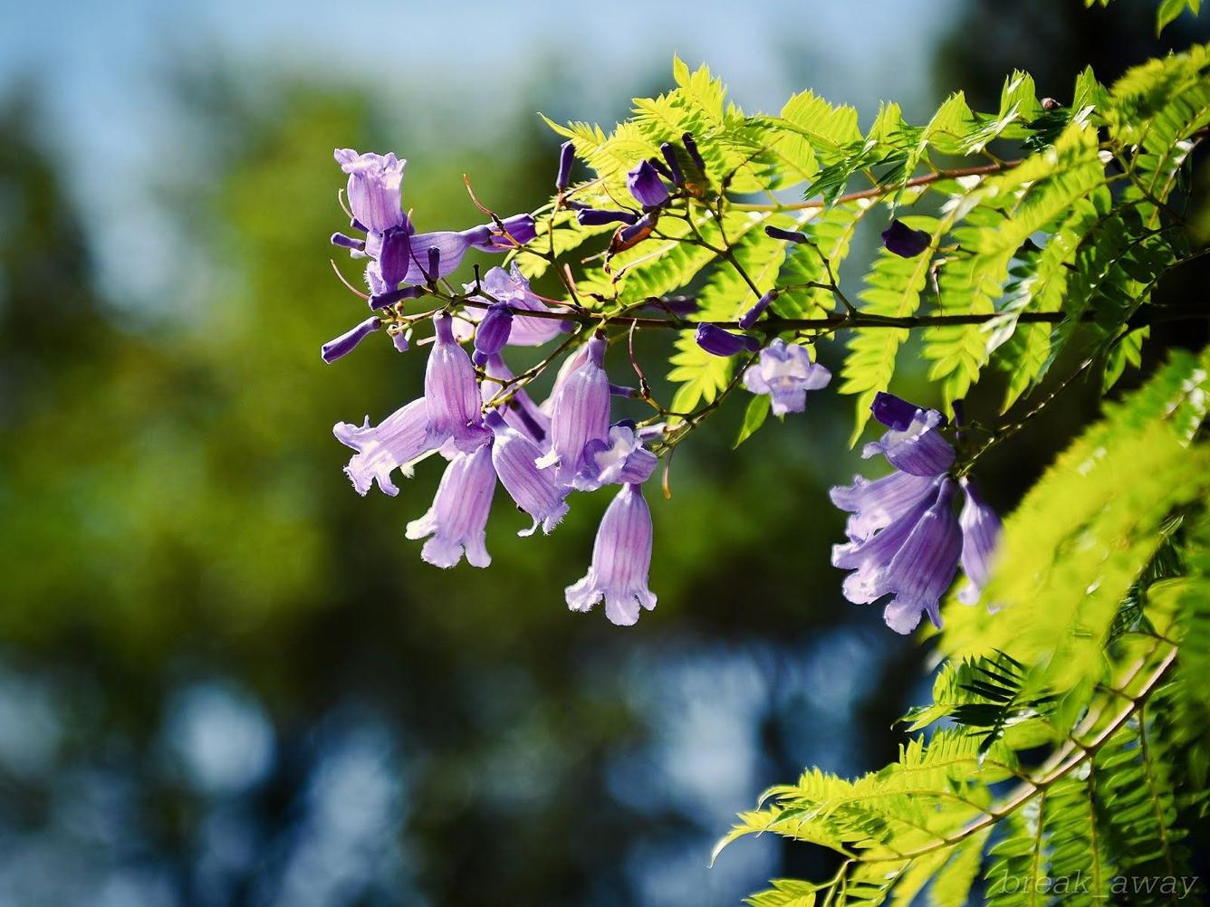 Những bông hoa phượng hoa phượng tím đẹp