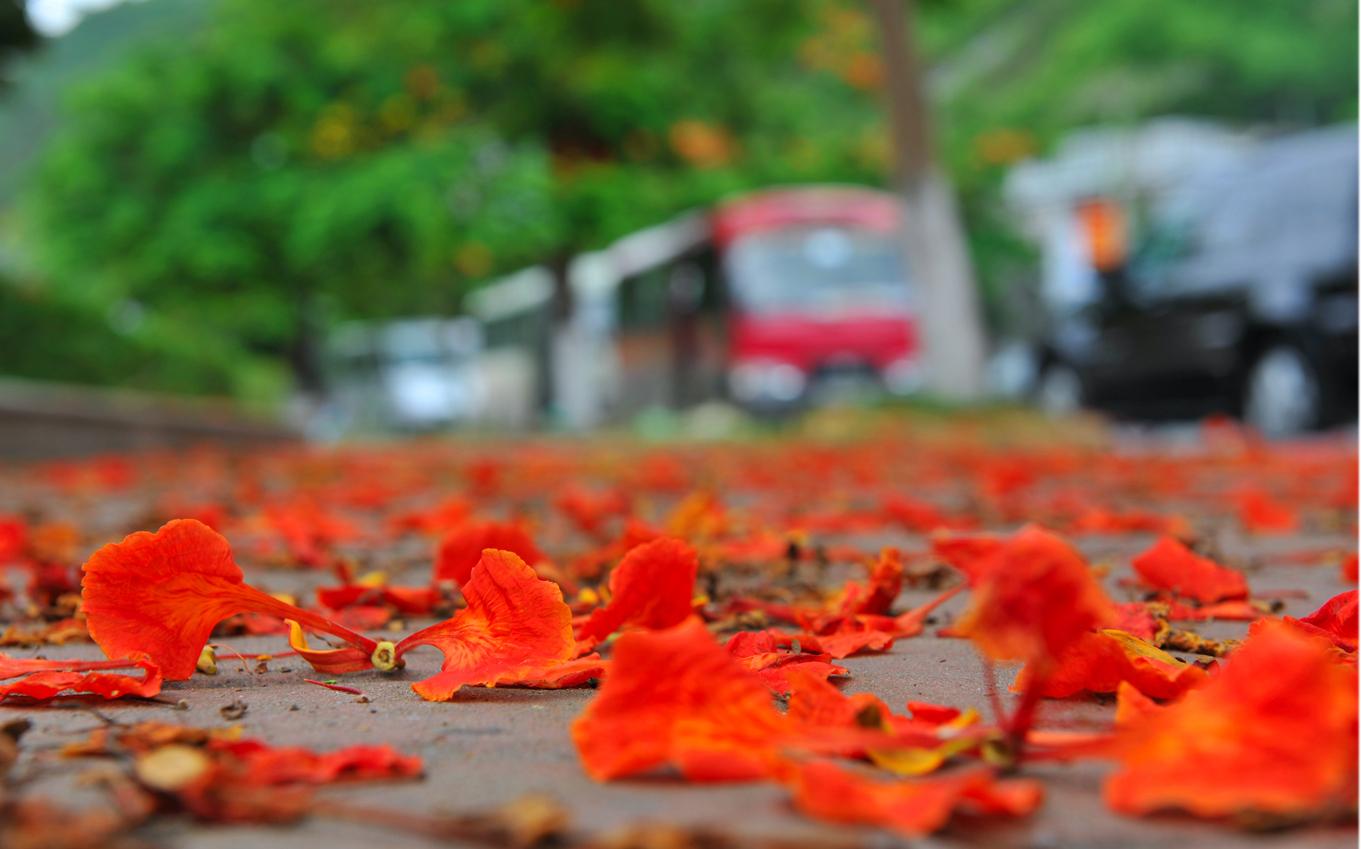 Những bông hoa phượng rơi dưới đất rất đẹp