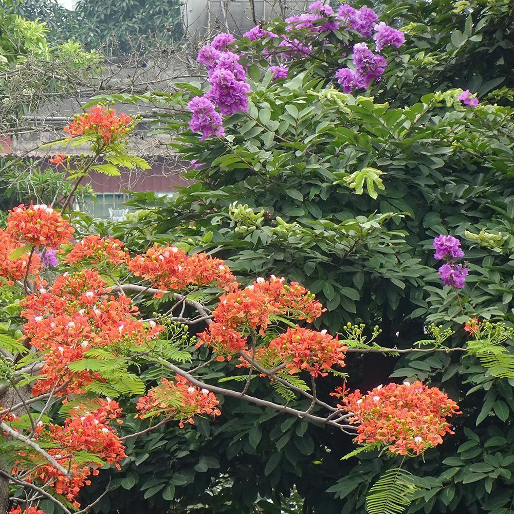 Những cành hoa phượng thắm cực đẹp