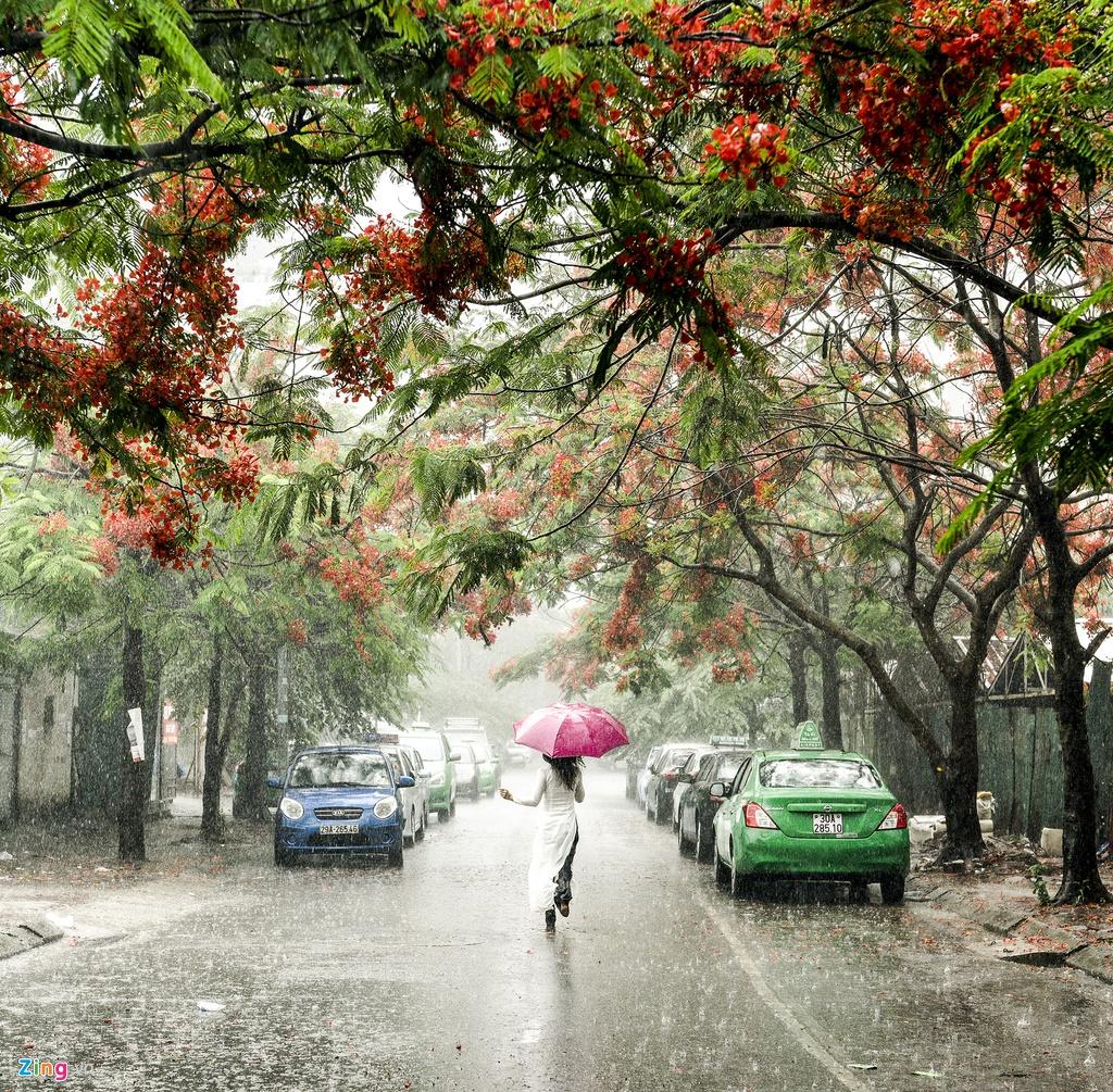Những cây hoa phượng đỏ dưới mưa