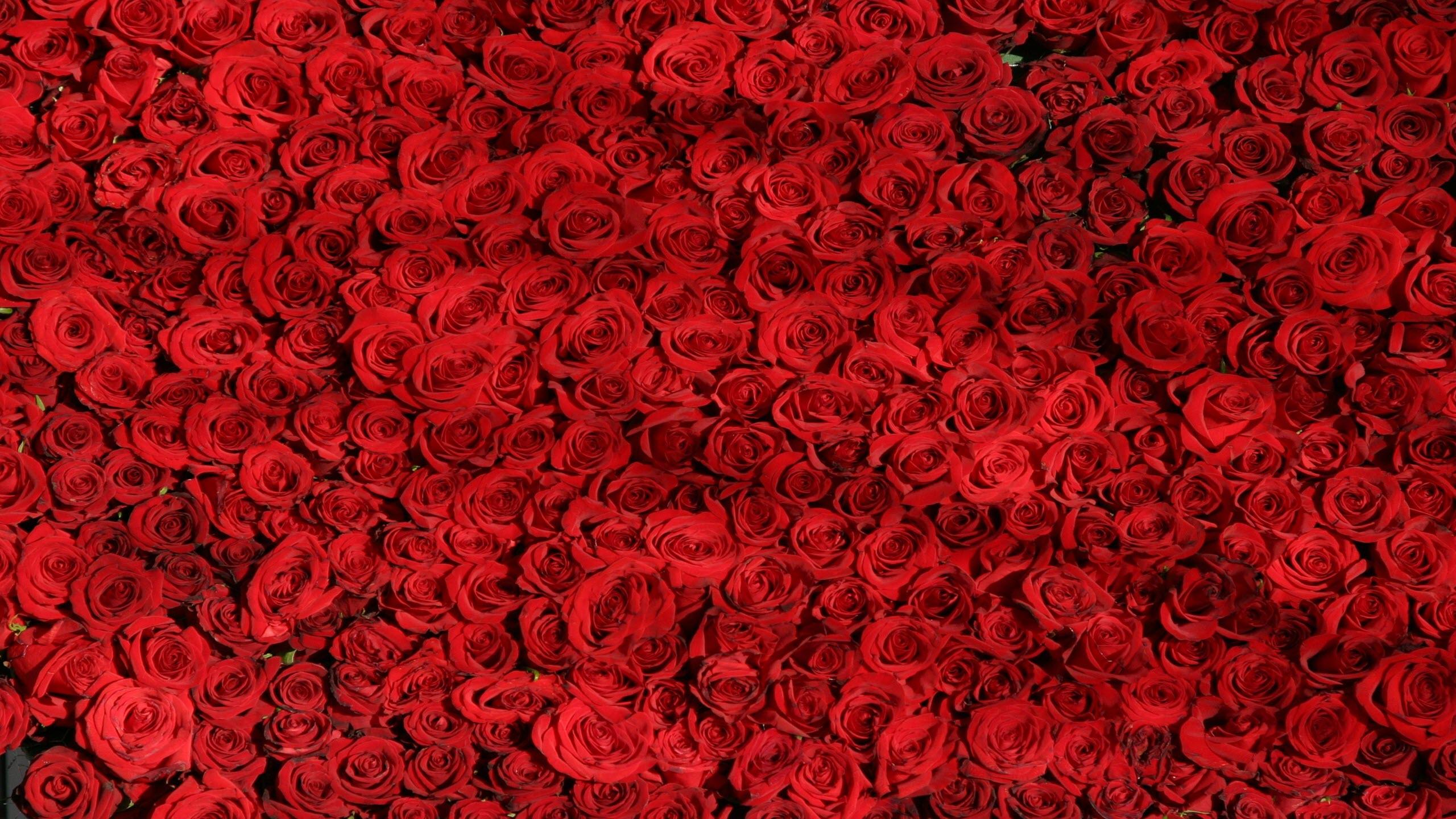 Ảnh nền hoa hồng đỏ cực đẹp