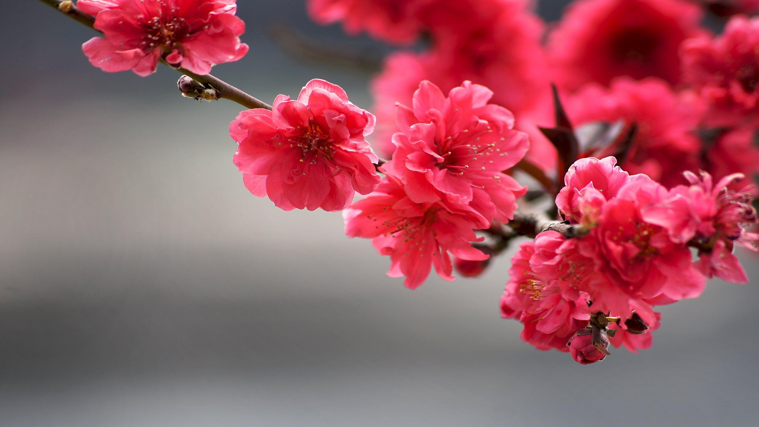 Ảnh nền hoa màu đỏ cực đẹp