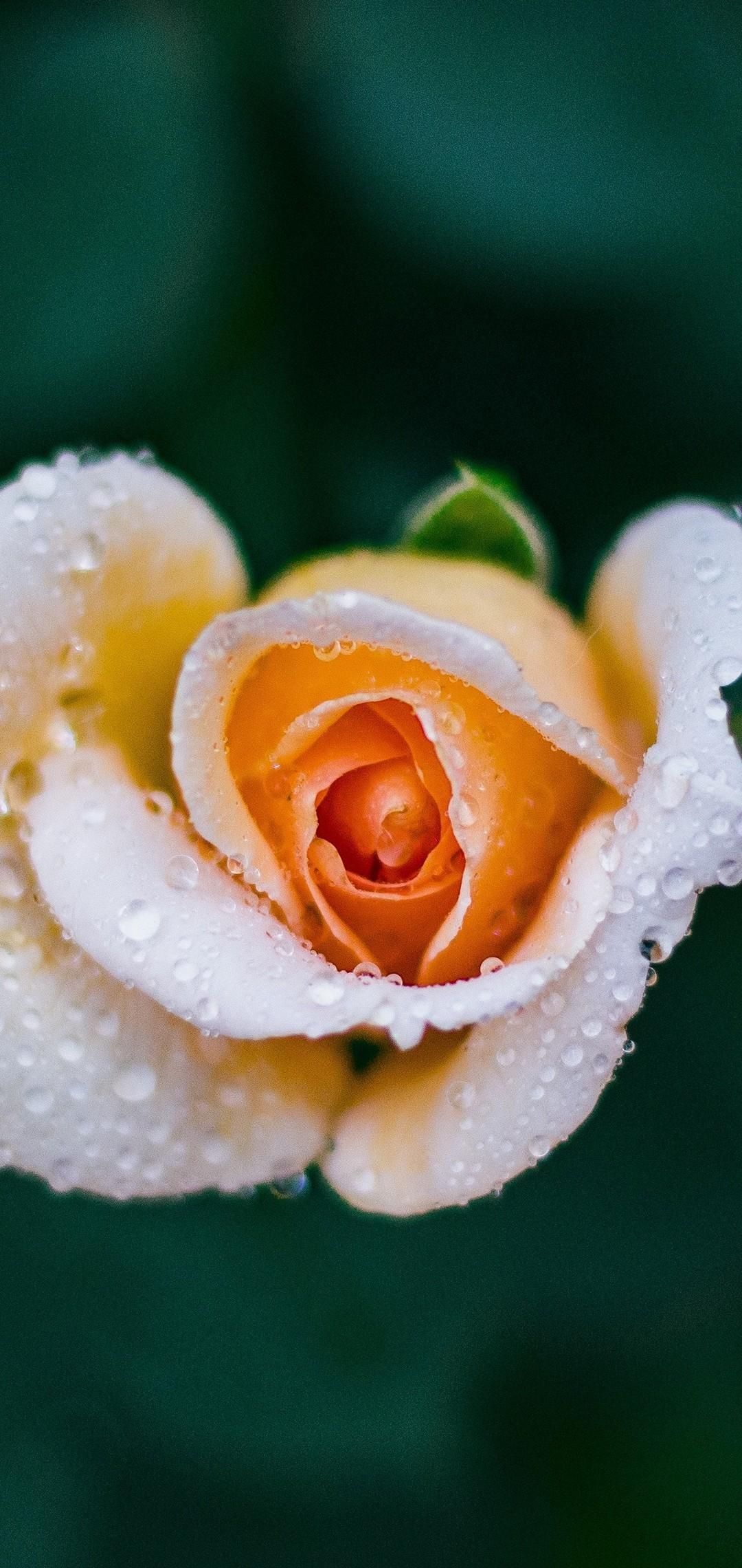Hình nền Samsung giọt nước trên hoa hồng