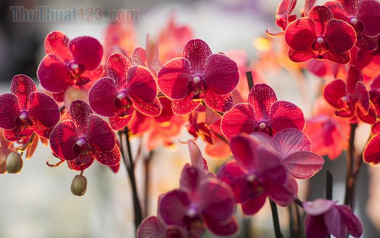 Hình ảnh các loại Hoa Lan đẹp nhất