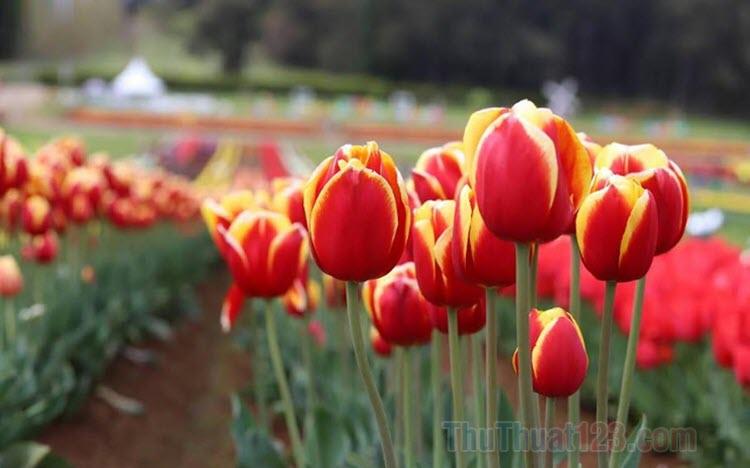 Hình ảnh hoa Tulip đẹp