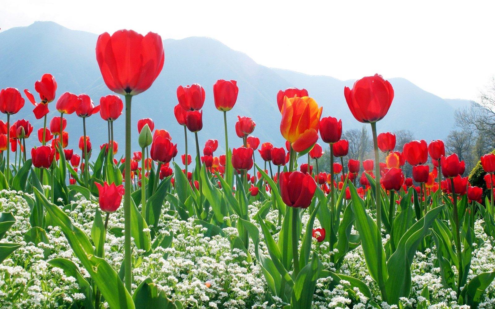 Ảnh cánh đồng hoa Tulip đẹp nhất