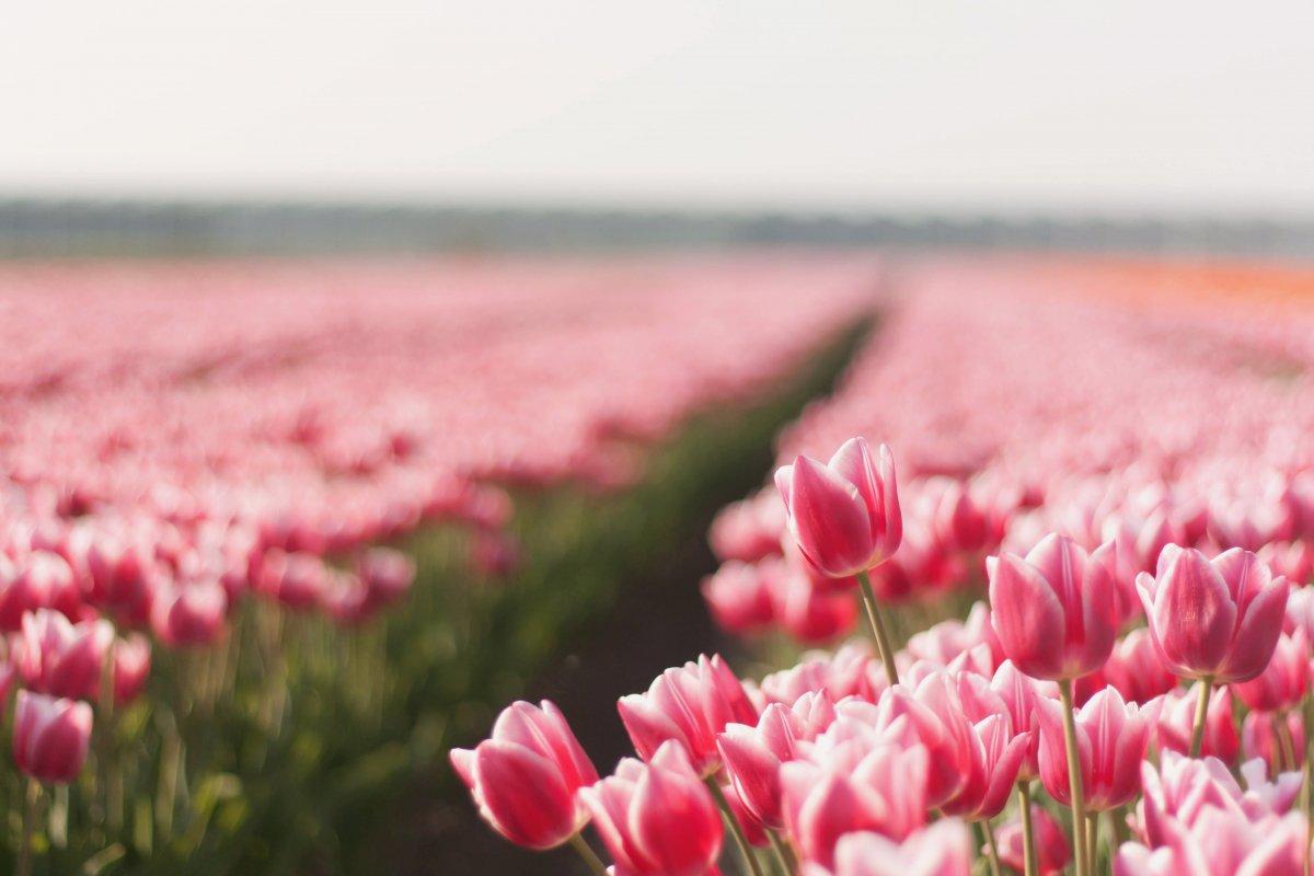 Ảnh cánh đồng hoa Tulip Hà Lan