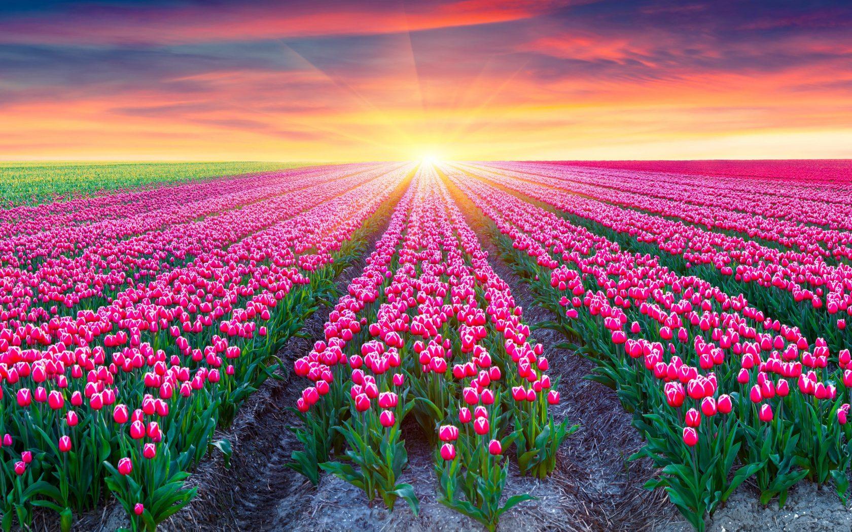 Ảnh cánh đồng hoa Tulip trải dài đến tận chân trời