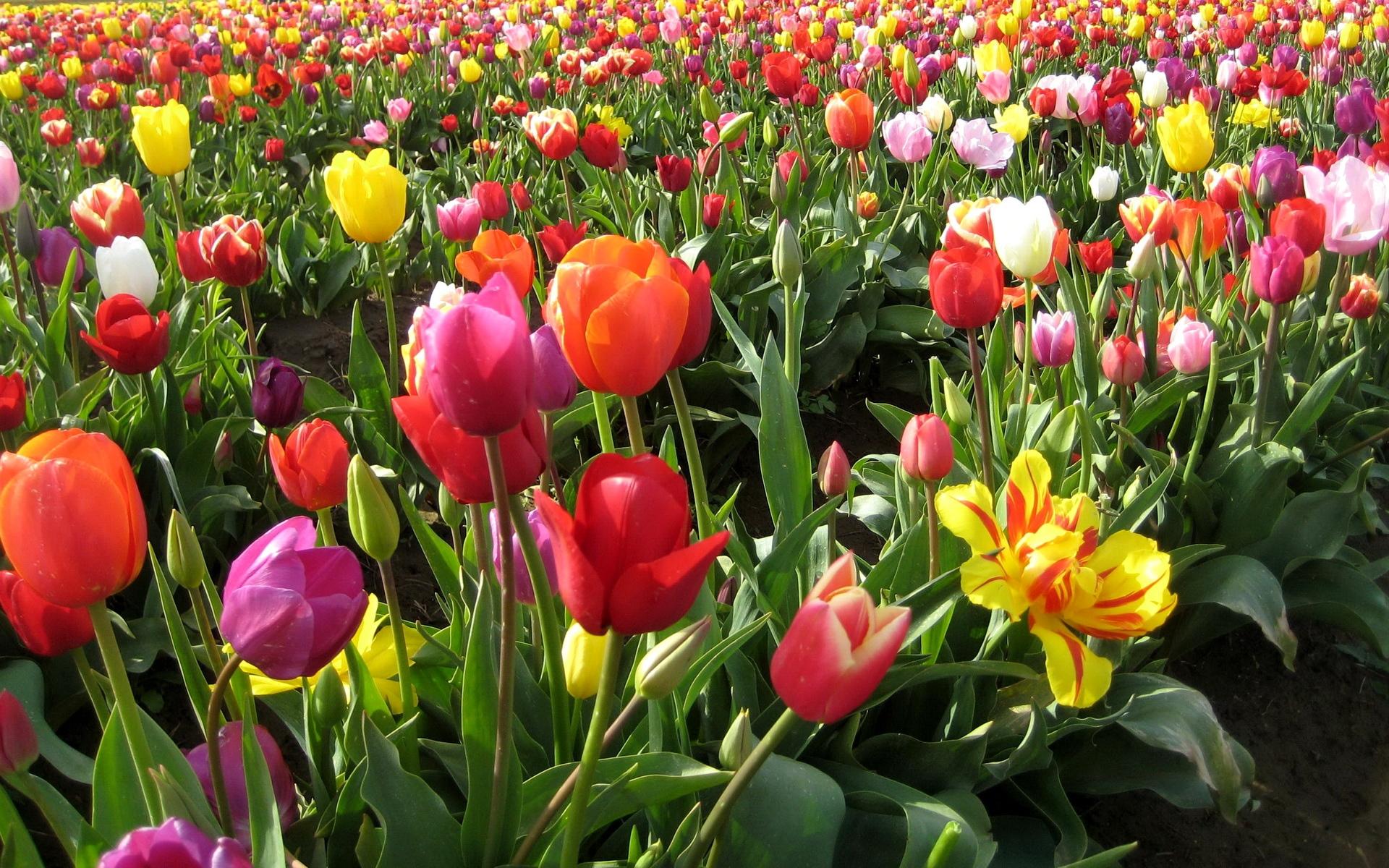 Ảnh đẹp nhất về hoa Tulip