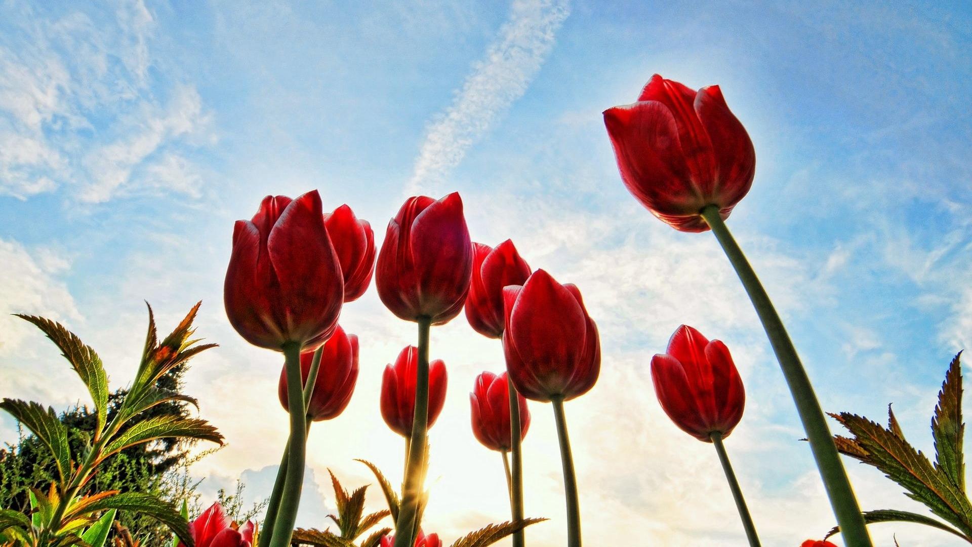 Ảnh hoa Tulip buổi sớm đẹp nhất