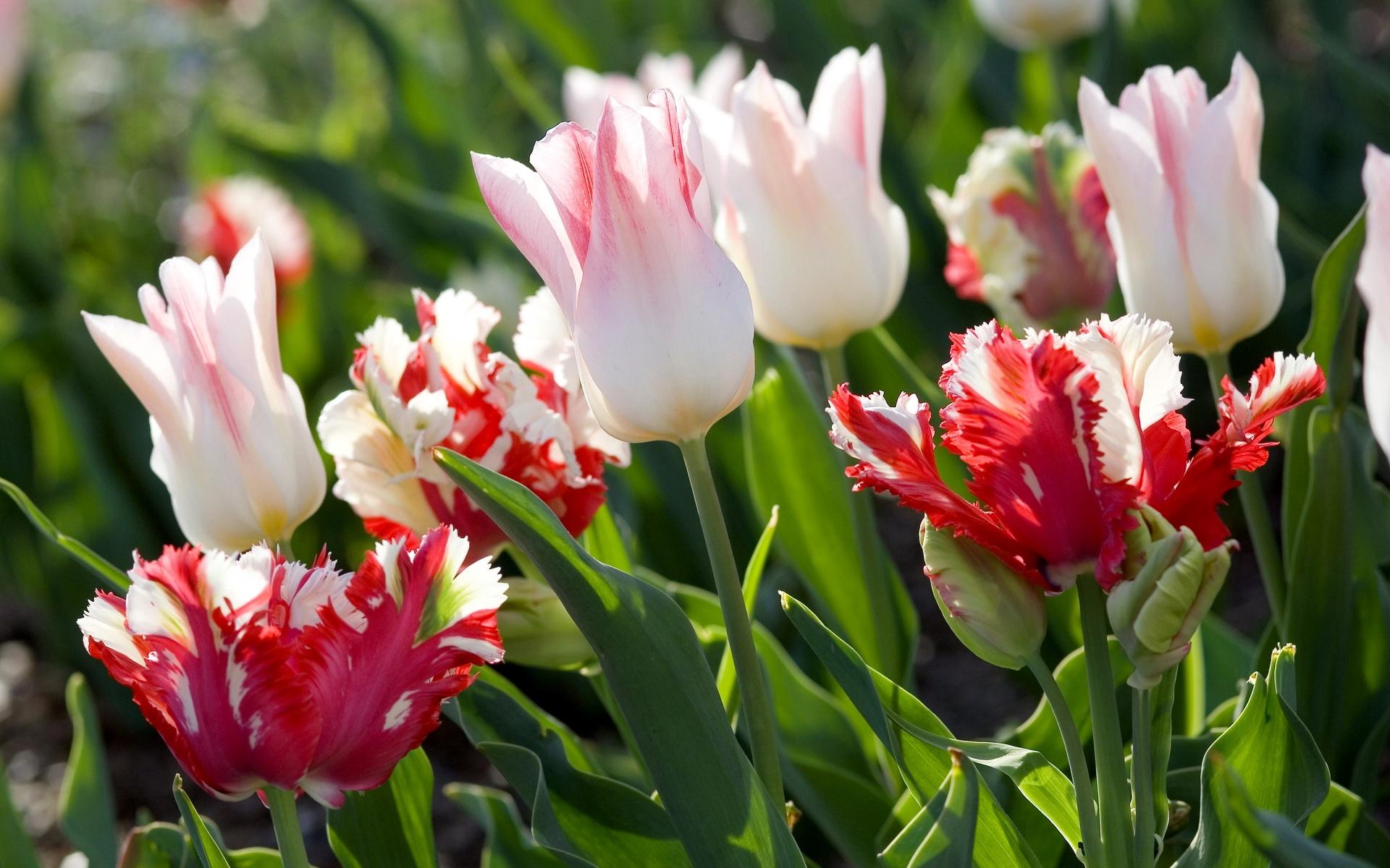 Ảnh hoa Tulip đẹp, rực rỡ nhất
