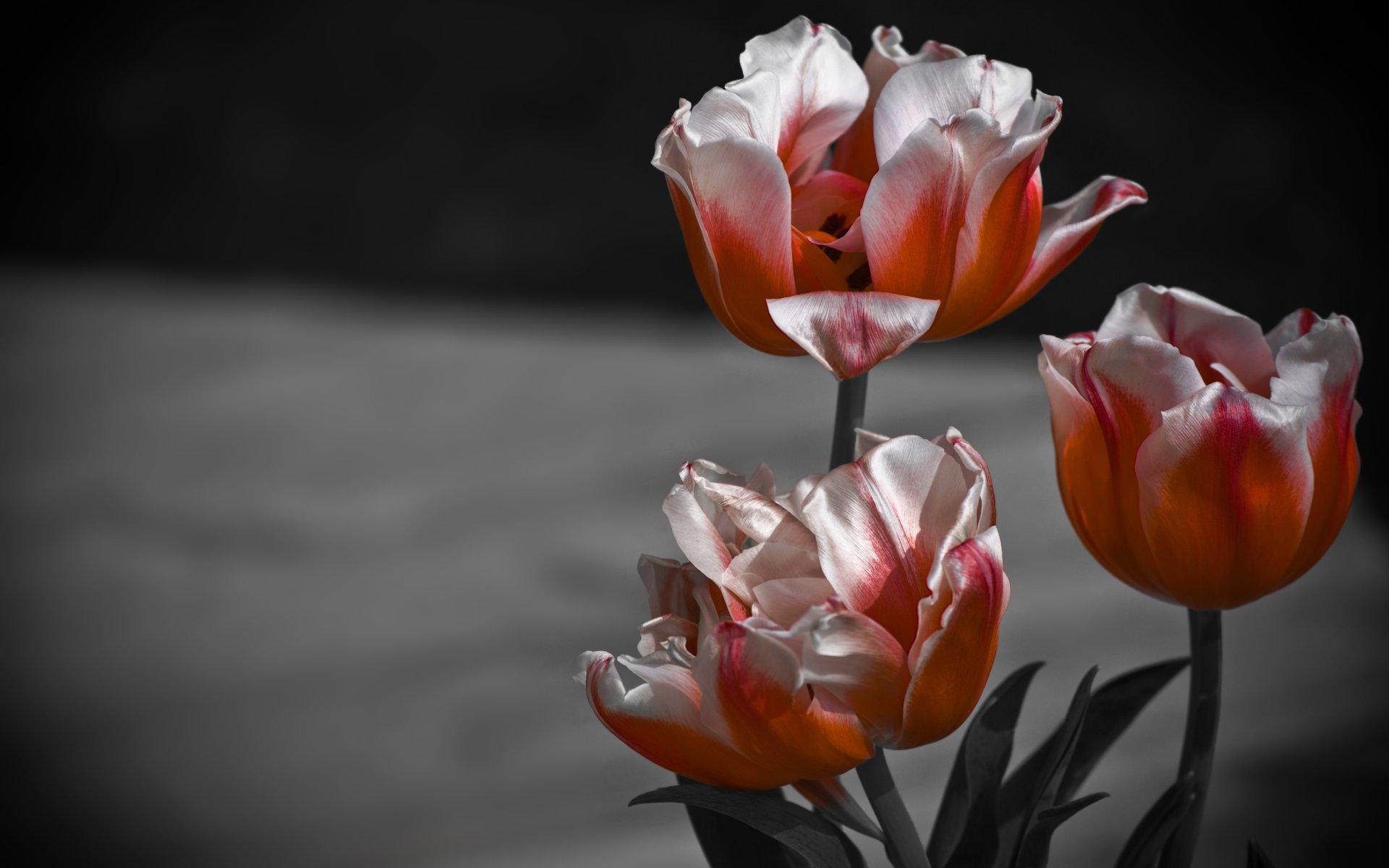 Ảnh hoa Tulip độc lạ