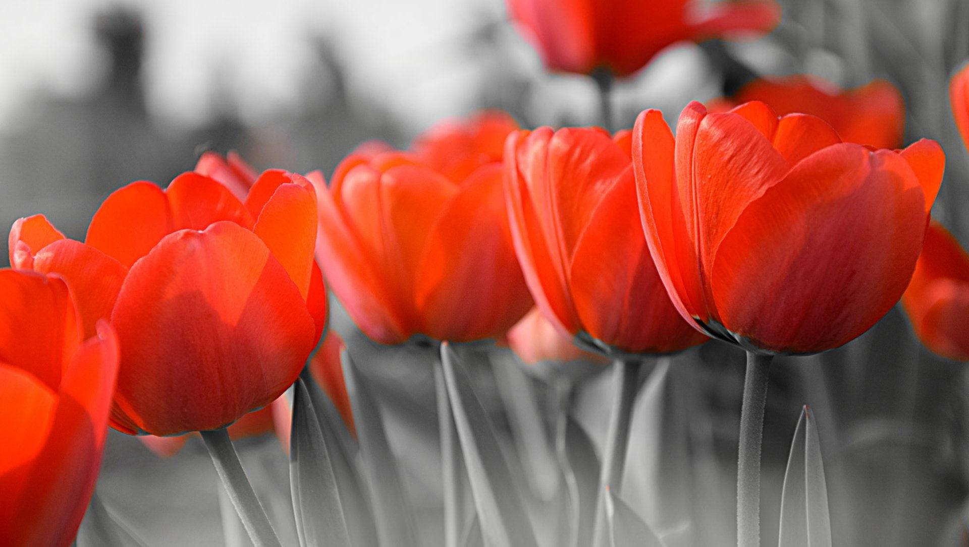 Ảnh hoa Tulip đơn sắc