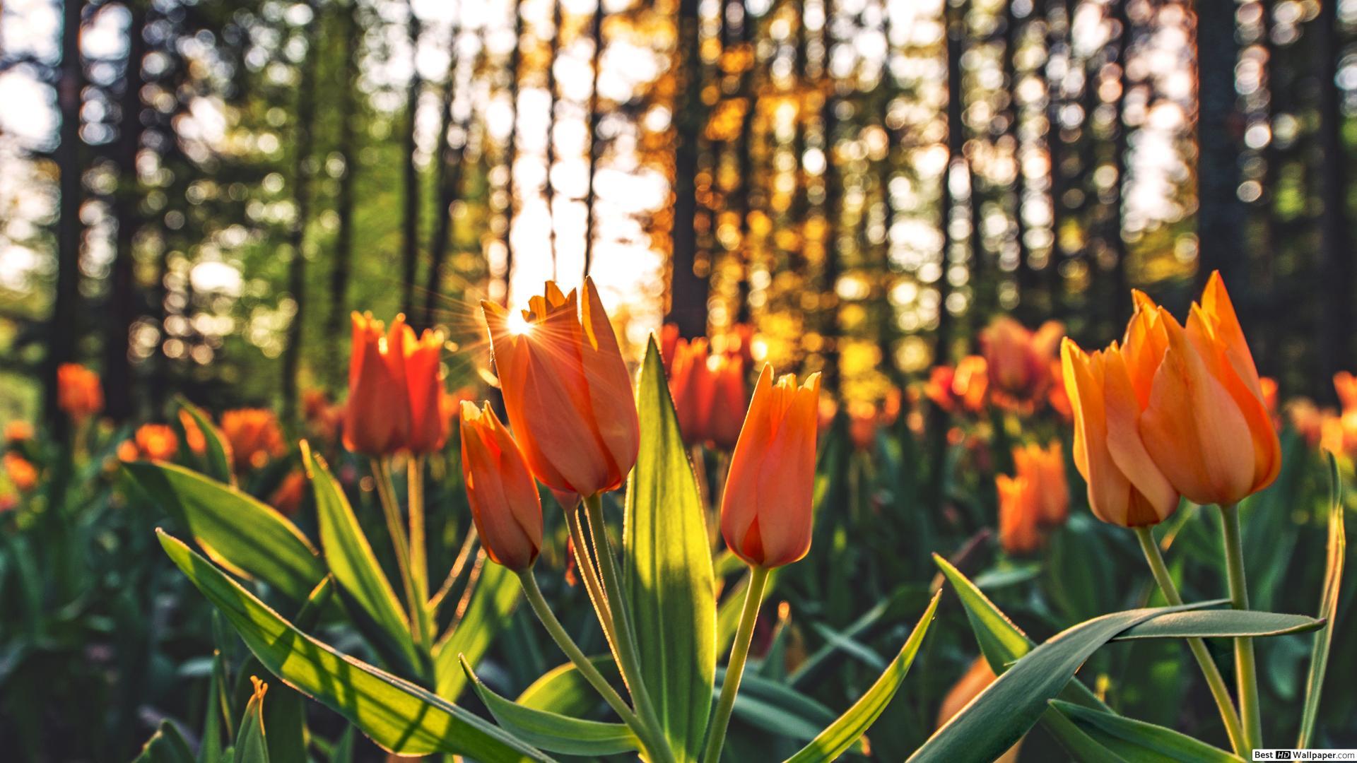 Ảnh hoa Tulip màu cam đẹp và rực rỡ