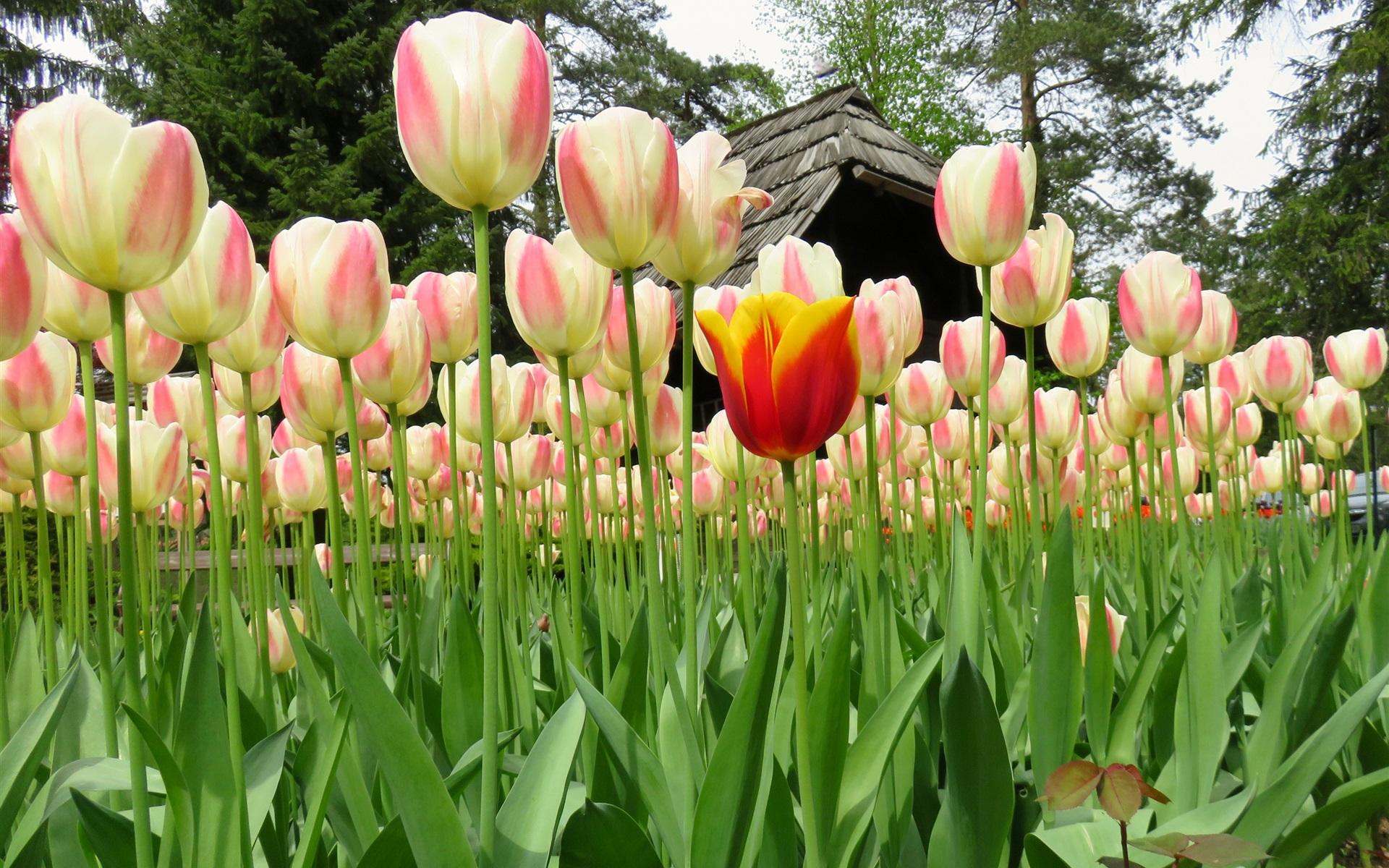 Ảnh hoa Tulip màu trắng đẹp nhất