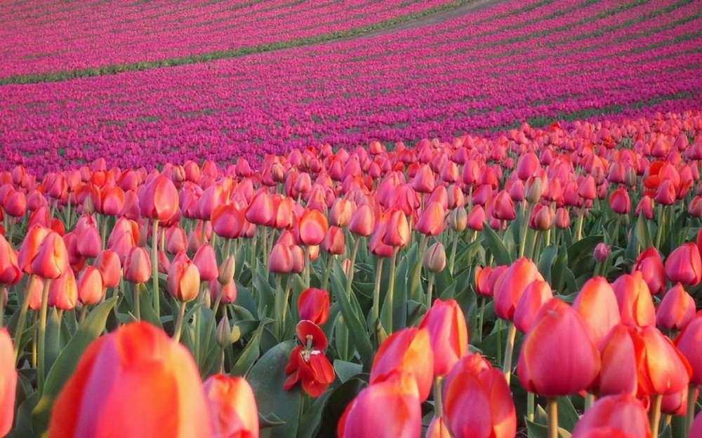 Ảnh hoa Tulip rực rỡ sắc màu