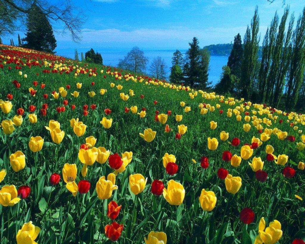Ảnh hoa Tulip thắm tươi rực rỡ
